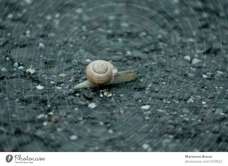 Quickly pass the road Street Snail Brown Black Snail shell Vineyard snail Crawl Mollusk Feeler Goggle eyed Animal Slow motion Traverse Traffic lane Dangerous