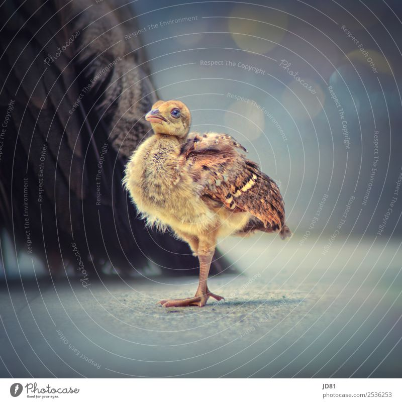 Little Star Animal Wild animal Bird Animal face Wing Zoo 1 2 Stand Elegant Exotic Friendliness Healthy Beautiful Natural Curiosity Cute Positive Blue Yellow