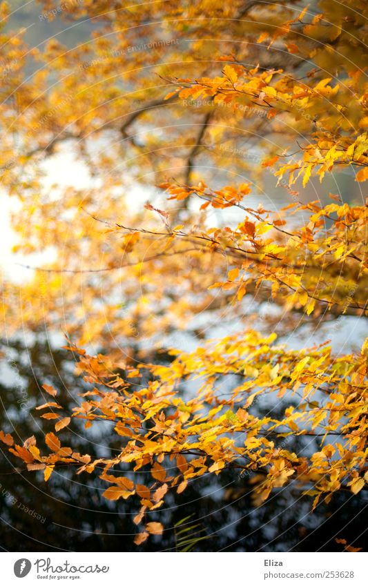 autumnlove Landscape Autumn Tree Bright Leaf Forest Water Deciduous tree Yellow Branch Lake Birch tree Autumnal Nature Multicoloured Exterior shot Deserted