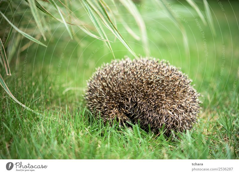 Small Sleeping on a ball hedgehog in a grass in a garden Garden Art Nature Animal Autumn Grass Moss Leaf Forest Natural Cute Thorny Wild Brown Gray Green