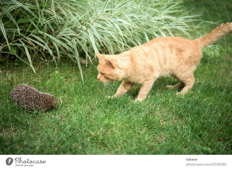 Orange cat and hedgehog Garden Friendship Art Nature Animal Autumn Grass Moss Leaf Forest Cat Sleep Small Natural Cute Thorny Wild Brown Gray Green Protection