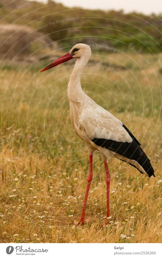Elegant white stork walking Beautiful Freedom Couple Adults Nature Animal Wind Flower Grass Bird Flying Long Wild Blue Green Red Black White Colour Attachment