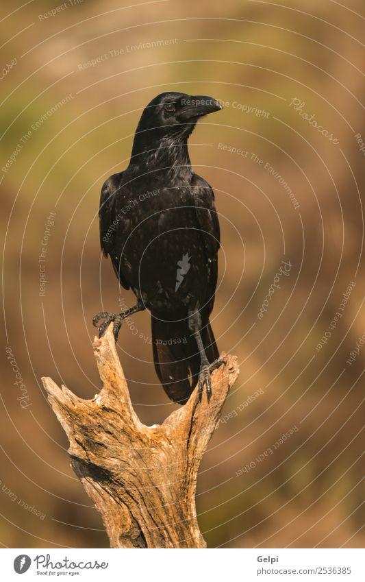 Brigh black plumage of a crow Nature Animal Park Dead animal Bird Observe Flying Stand Dark Bright Wild Black Crow raven wildlife Beak avian Feather claw field