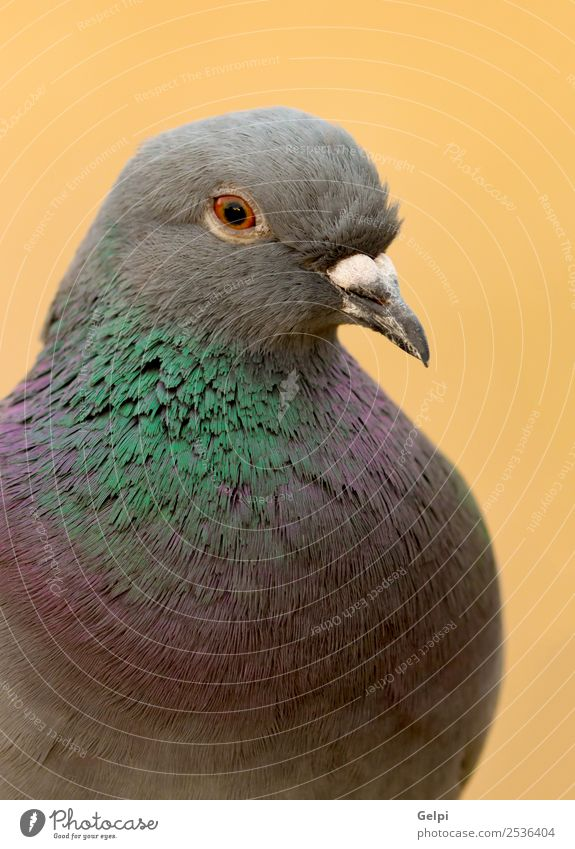 Portrait of a wild dove Design Beautiful Body Life Freedom Winter Nature Animal Town Bird Pigeon Wild Gray Green Colour Peace messenger wildlife head wing