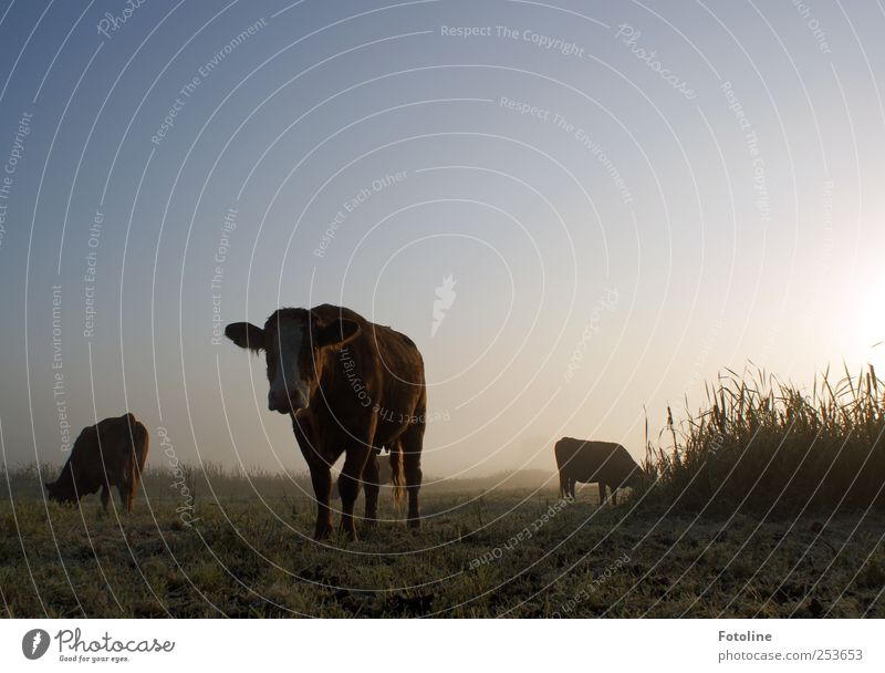 Sky Nature Plant Animal Cold Dark Meadow Autumn Environment Grass Fog Natural Cow Farm animal Cloudless sky