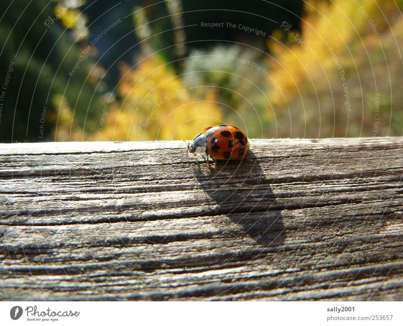 Autumn lucky charm Nature Sunlight Animal Beetle Ladybird Insect 1 Wood Good luck charm Crawl Sit Natural Red Happy Spotted Point Black-red Autumnal Joist