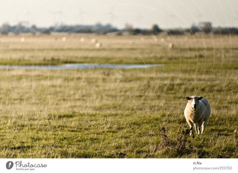 Hey, Dude! Environment Nature Landscape Plant Animal Autumn Grass Bushes Field North Sea Schleswig-Holstein Dithmarschen Nature reserve Farm animal Sheep 1