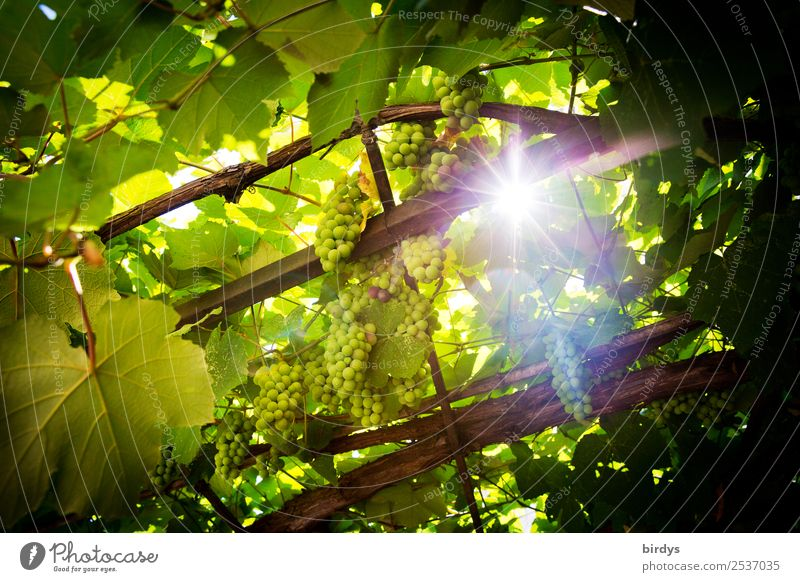 The sun, the wine Fruit Bunch of grapes Nutrition Agriculture Forestry Sun Sunlight Summer Beautiful weather Agricultural crop Vine Glittering Illuminate Growth