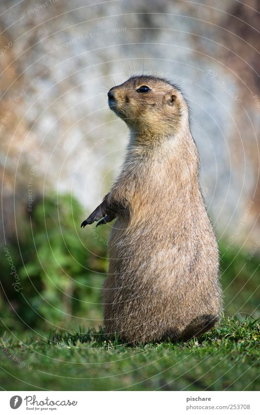 Nature Animal Meadow Stand Observe Curiosity Timidity Prairie dog