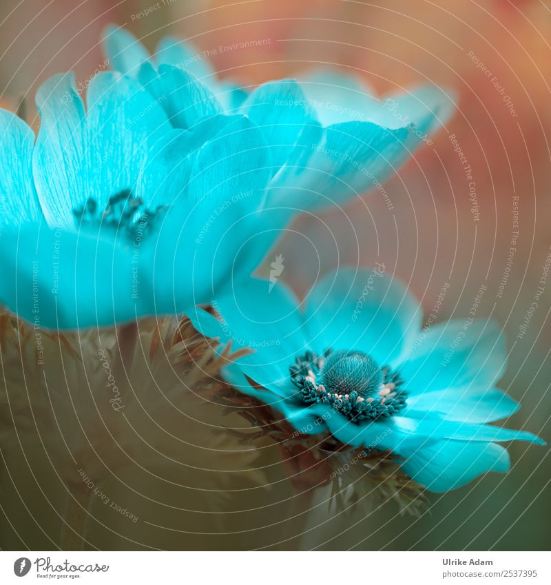 Light Blue Garden Anemone - Flowers and Nature Elegant Style Design Wellness Life Harmonious Well-being Contentment Relaxation Calm Meditation Cure Spa
