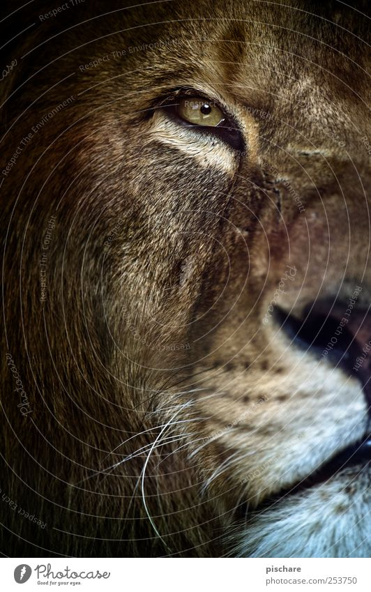 allow, king kalle Nature Animal Animal face Zoo Observe Looking Esthetic Exotic Wild Watchfulness Lion King Colour photo Exterior shot Close-up Day