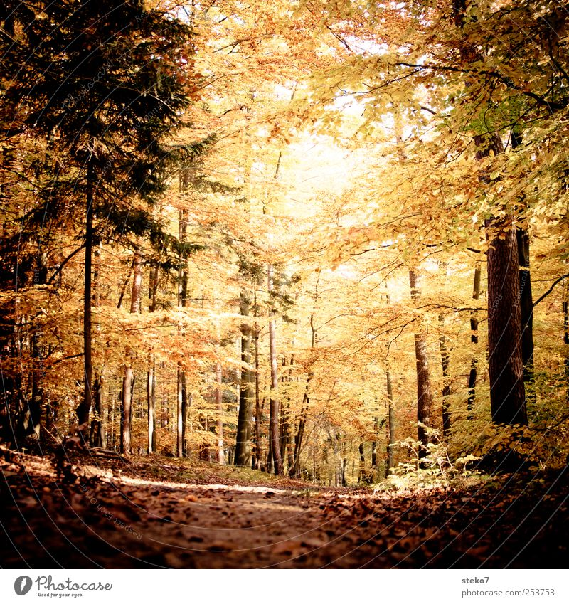 door picture Autumn Forest Lanes & trails Brown Yellow Gold Calm Change Beech wood Leaf Colour photo Subdued colour Exterior shot Deserted Sunlight