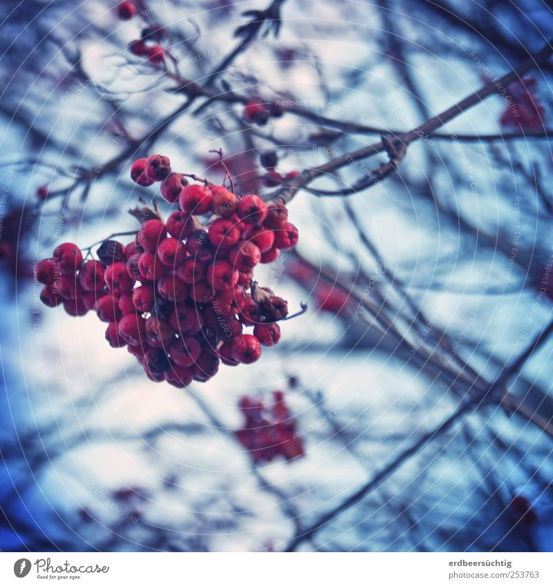 rowanberries Nature Plant Earth Tree Rowan tree Rawanberry Berries Twigs and branches Hang To dry up Growth Dark Cold Blue Red Autumn Winter Subdued colour