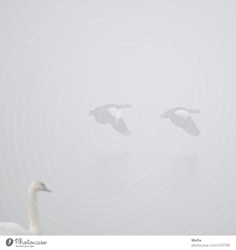 Nature White Animal Environment Freedom Gray Bird Bright Together Flying Fog Natural Swan Goose Movement