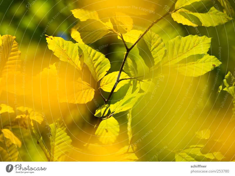 Green Tree Plant Leaf Forest Yellow Autumn Illuminate Branch Beautiful weather Autumn leaves Autumnal Deciduous tree Autumnal colours Leaf canopy