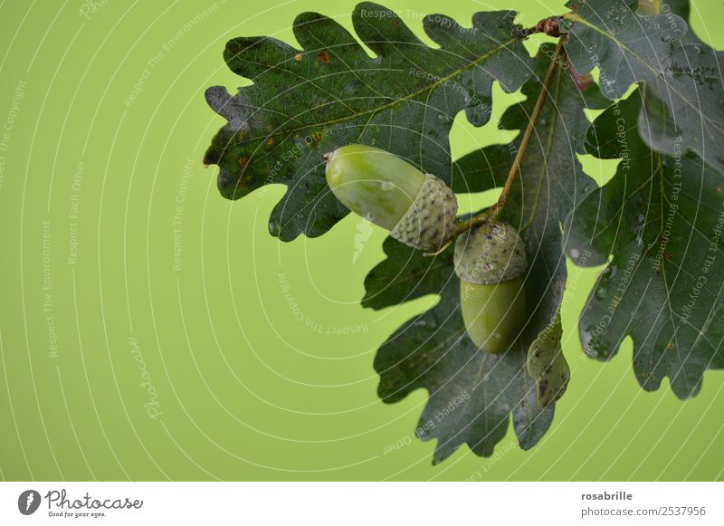 green acorns 3 Environment Nature Plant Summer Autumn Tree Leaf Oak tree Oak leaf Acorn Branch Twig Seed Fruit Field Hang Growth Natural Round Green Hope Mature