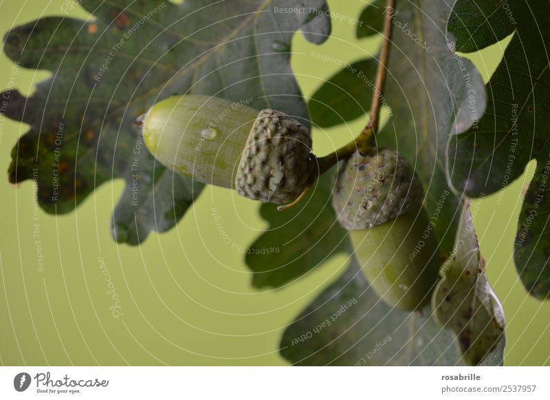 green acorns 6 Environment Nature Plant Summer Autumn Tree Leaf Seed head Oak tree Oak leaf Acorn Branch Twig Drops of water Hang Growth Natural Round Green