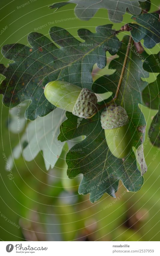 green acorns 2 Environment Nature Plant Summer Autumn Tree Leaf Oak tree Oak leaf Acorn Field Hang Growth Natural Round Green Attentive Change Mature Seasons