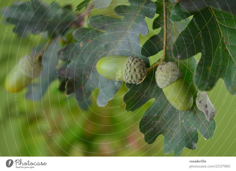 green acorns 1 Environment Nature Plant Summer Autumn Tree Leaf Oak tree Oak leaf Acorn Field Hang Growth Natural Round Green Attentive Contentment Life Mature