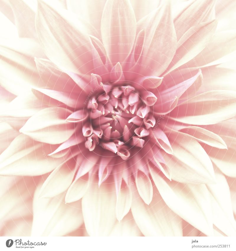 fleur Environment Nature Plant Flower Esthetic Natural Beautiful Pink White Colour photo Exterior shot Deserted Day Central perspective