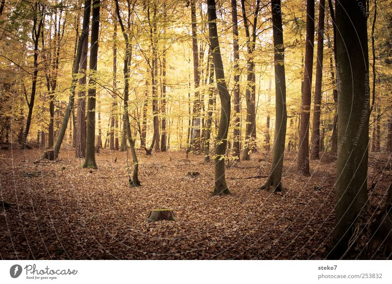forest light Nature Autumn Tree Forest Brown Yellow Gold Beech wood Mystic Deciduous forest Leaf Subdued colour Exterior shot Deserted Contrast Sunlight
