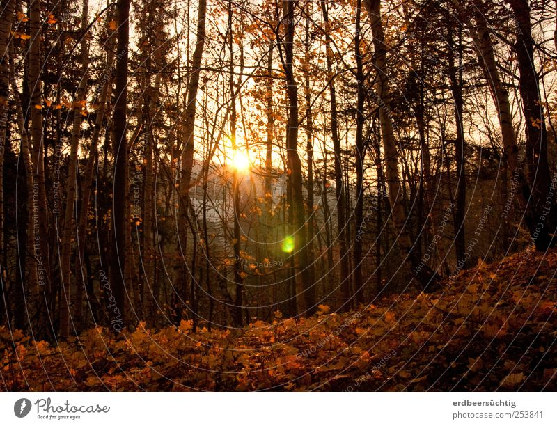 A last glow Nature Landscape Autumn Beautiful weather Plant Tree Leaf Twigs and branches Forest Illuminate To dry up Idyll Calm Environment Transience Time Cold
