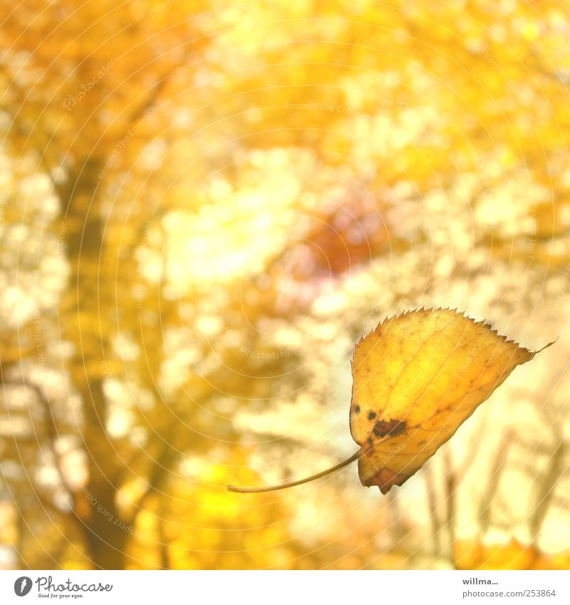 falling yellow leaf in autumn Leaf Yellow To fall leaf fall Autumn Nature Beautiful weather Forest Illuminate naturally pretty Happiness Harmonious Sunlight