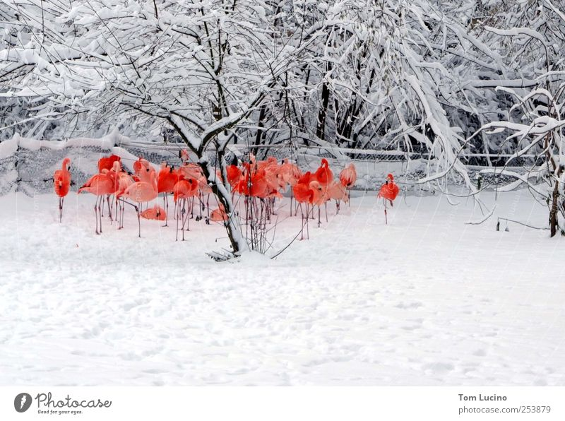 Flamingos in the snow Group of animals Stand Beautiful Red White Moody Together Colour photo Exterior shot Day Central perspective