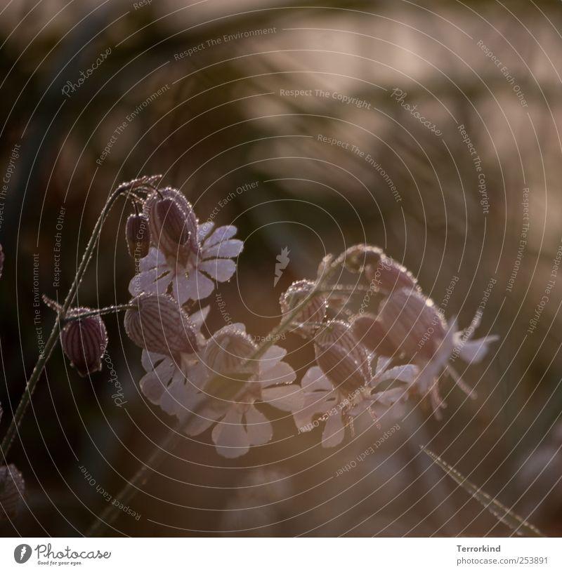 Chamansülz 2011 fine. Flower Leaf Bell Dew Wet Damp Rain Rainwater Drop Morning Sunrise beginning.