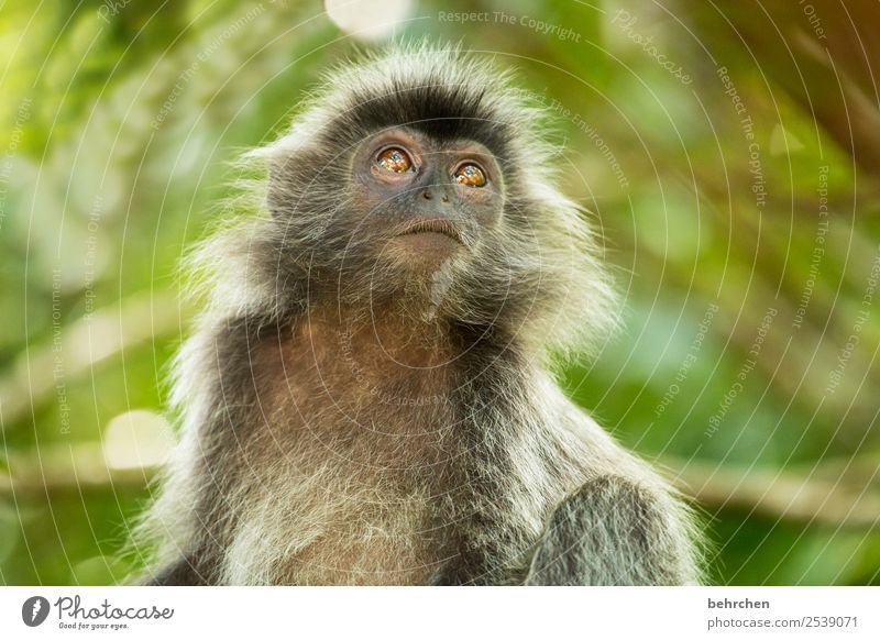 Is it gonna rain today? Vacation & Travel Tourism Trip Adventure Far-off places Freedom Nature Virgin forest Wild animal Animal face Pelt Monkeys bonnet langurs
