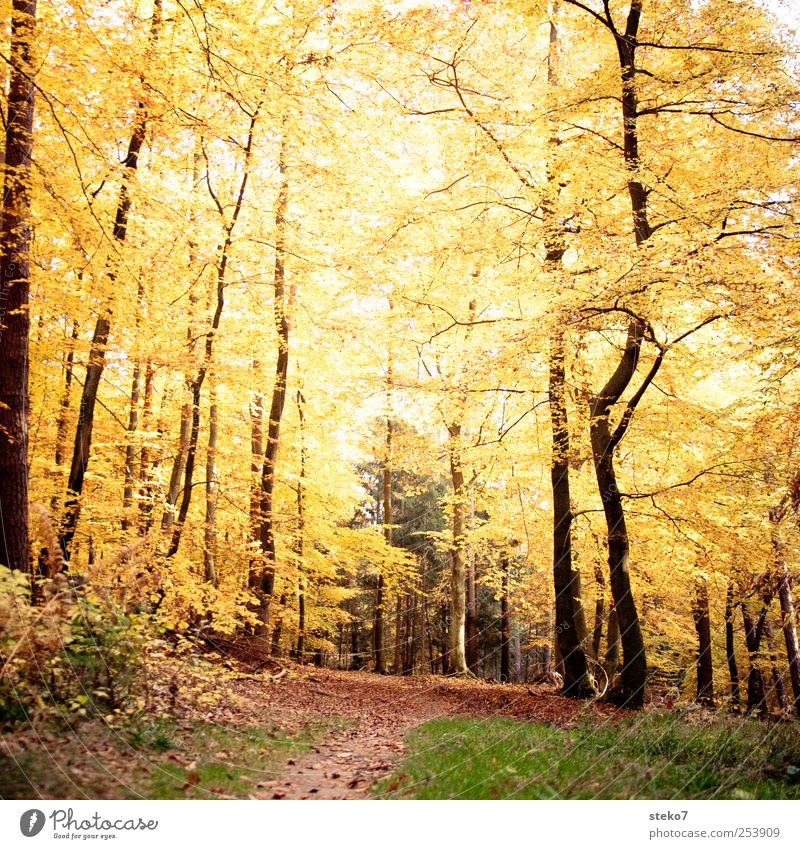 eternal autumn Autumn Forest Lanes & trails Brown Yellow Gold Transience Change Footpath Deciduous forest Beech wood Leaf canopy Colour photo Exterior shot