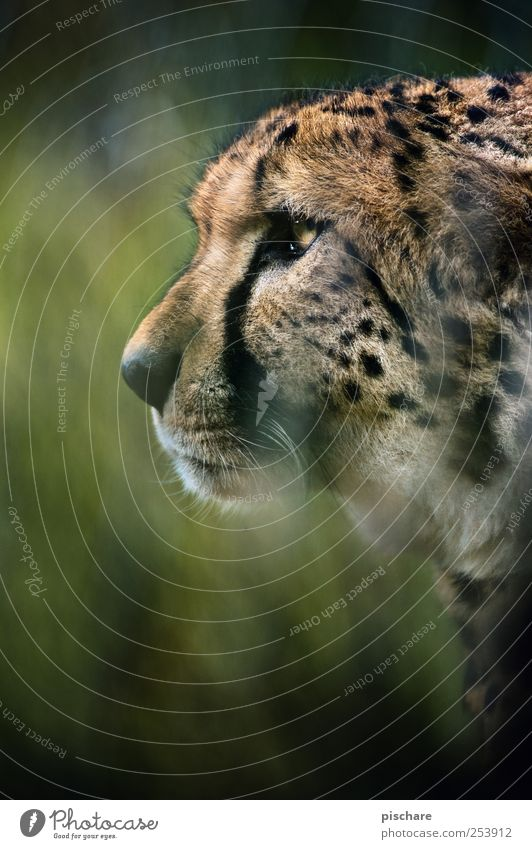 allow, carlitos Grass Animal Cat Animal face Zoo Observe Hunting Aggression Esthetic Wild Power Watchfulness Exotic Nature Cheetah Colour photo Exterior shot