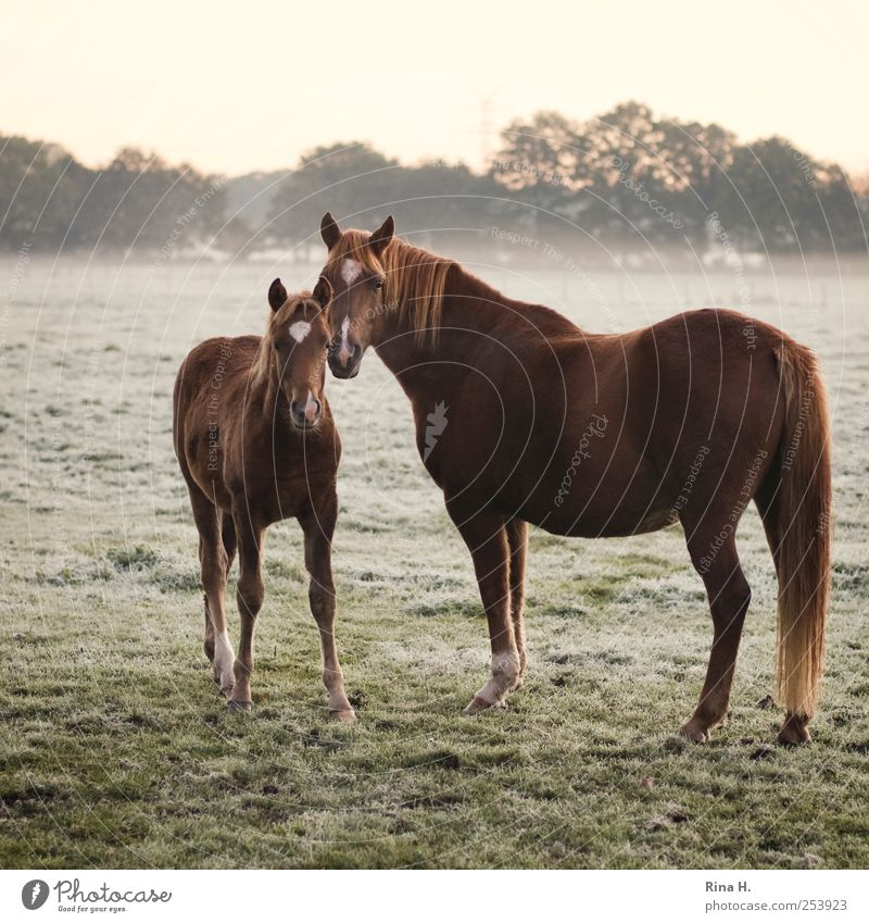 Horses in early fog II Nature Fog Meadow Animal Pet 2 Baby animal Observe Authentic Natural Beautiful Emotions Colour photo Exterior shot Deserted Morning Dawn