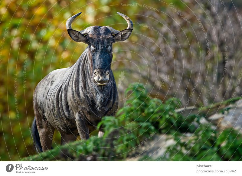 permit, steffne Nature Animal Wild animal Zoo Observe Looking Exotic Power Gnu Colour photo Exterior shot Shallow depth of field Animal portrait