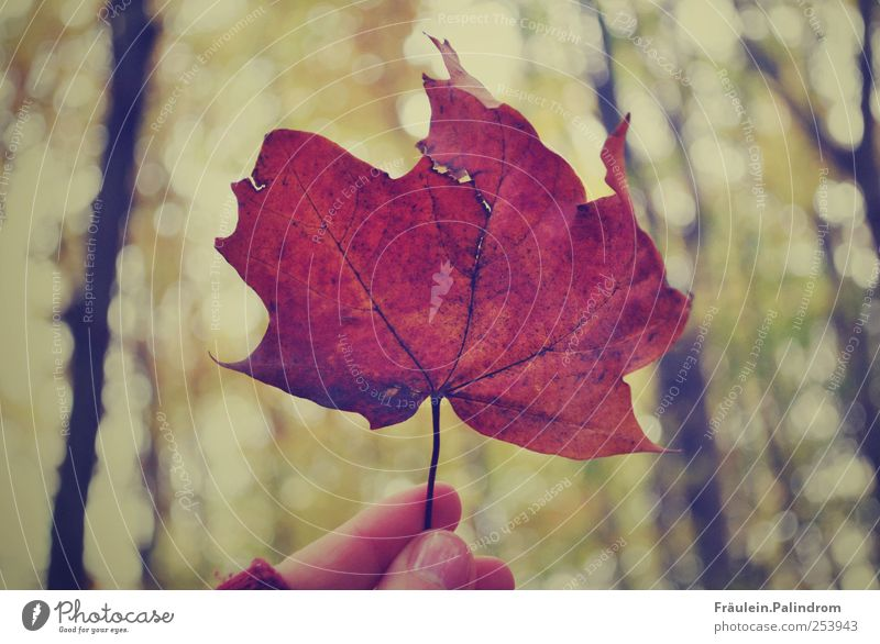 Autumn leaf. Environment Nature Plant Sky Tree Leaf Park Forest Brown To hold on Fingers Thumb Hand Cold Seasons Gold Maple leaf Autumnal Canada November Red
