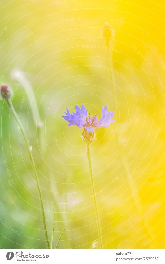 transparency Nature Plant Summer Flower Blossom Wild plant Cornflower Field Warmth Soft Blue Yellow Green Fragrance Colour Ease Transparent Pastel tone
