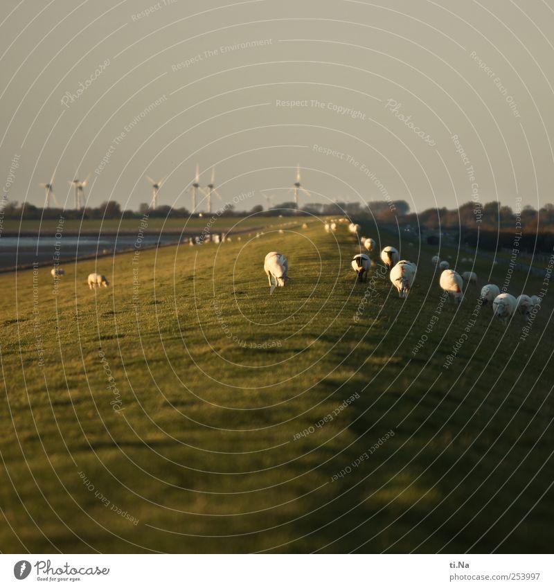 lawn mower column Summer Autumn Coast North Sea Dike Farm animal Sheep Herd To feed Walking Hiking Natural Wild Green White Tourism Environment