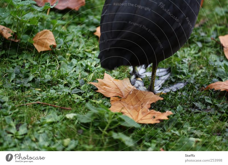 on a large foot Nature Autumn Grass Leaf Autumn leaves Park Animal Bird Animal foot Hind quarters Animalistic Coot Wild bird Stand Wait Brown Green Black