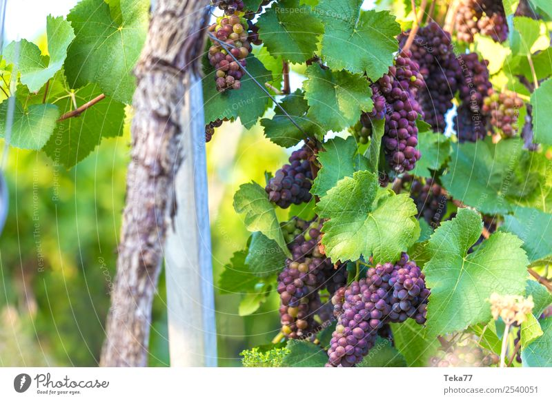 Grapes 4 Summer Environment Nature Plant Esthetic Wine Bunch of grapes Vine Alcoholic drinks Colour photo Exterior shot Structures and shapes Deserted