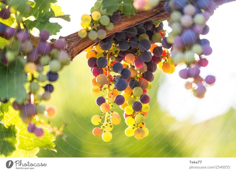 Grapes 2 Summer Environment Nature Plant Esthetic Wine Bunch of grapes Alcoholic drinks Vine tendril Colour photo Exterior shot Deserted
