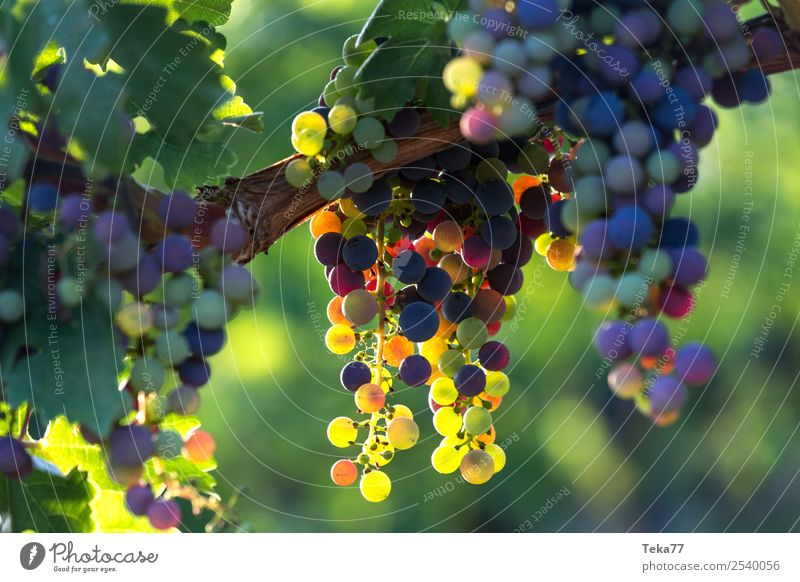 Grapes 1 Summer Environment Nature Plant Spring Foliage plant Agricultural crop Garden Adventure Esthetic Wine Bunch of grapes Vine Alcoholic drinks Winery