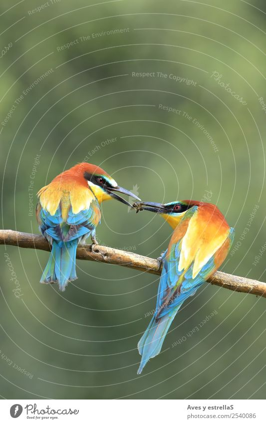 Couple of european bee-eater Nature Blue Beautiful Green White Red Animal Black Yellow Love Funny Natural Emotions Happy Bird Orange