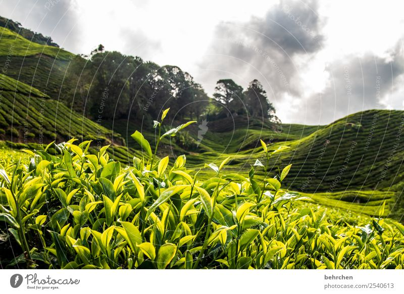 green yes green Vacation & Travel Tourism Trip Adventure Far-off places Freedom Nature Landscape Sky Clouds Plant Tree Bushes Agricultural crop Tea plants