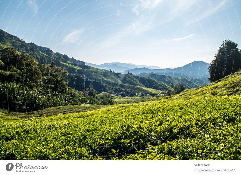 soul warmer Malaya cameron highlands Tea Tea plants Virgin forest rainforest Far-off places Wanderlust travel Vacation & Travel Tea plantation wide Landscape