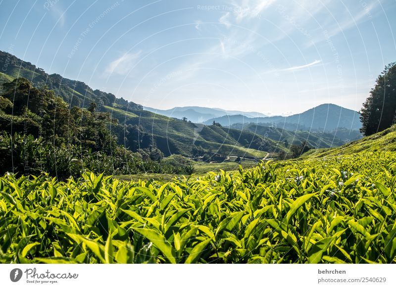 for tea lovers Vacation & Travel Tourism Trip Adventure Far-off places Freedom Nature Landscape Sky Plant Tree Bushes Leaf Agricultural crop Tea plants