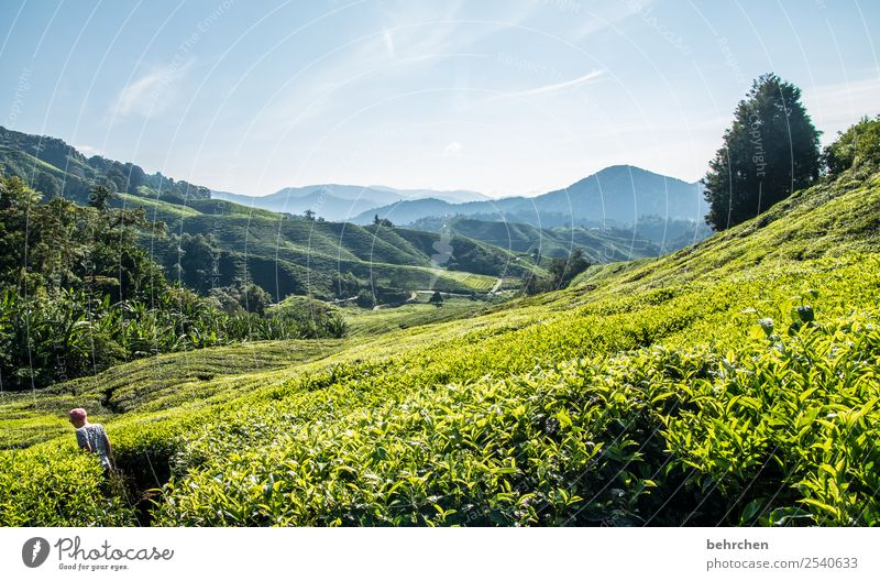 walk in the tea Vacation & Travel Tourism Trip Adventure Far-off places Freedom Boy (child) Infancy Nature Landscape Plant Tree Bushes Leaf Agricultural crop