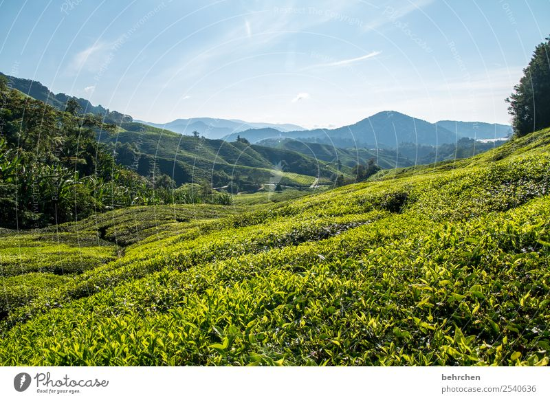 tea break Malaya cameron highlands Tea Tea plants Tea plantation wide Far-off places Wanderlust travel Vacation & Travel Tourism Trip Adventure Freedom Nature