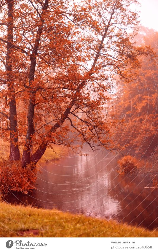 Autumn dawn scene. Alden trees on foggy riverbank Nature Vacation & Travel Plant Beautiful Colour Green Water Landscape Tree Red Leaf Forest Yellow Environment