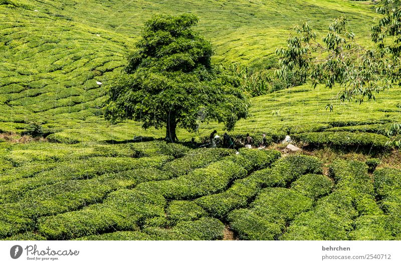 siesta Vacation & Travel Tourism Trip Adventure Far-off places Freedom Nature Landscape Plant Tree Bushes Leaf Agricultural crop Tea plants Tea plantation Field