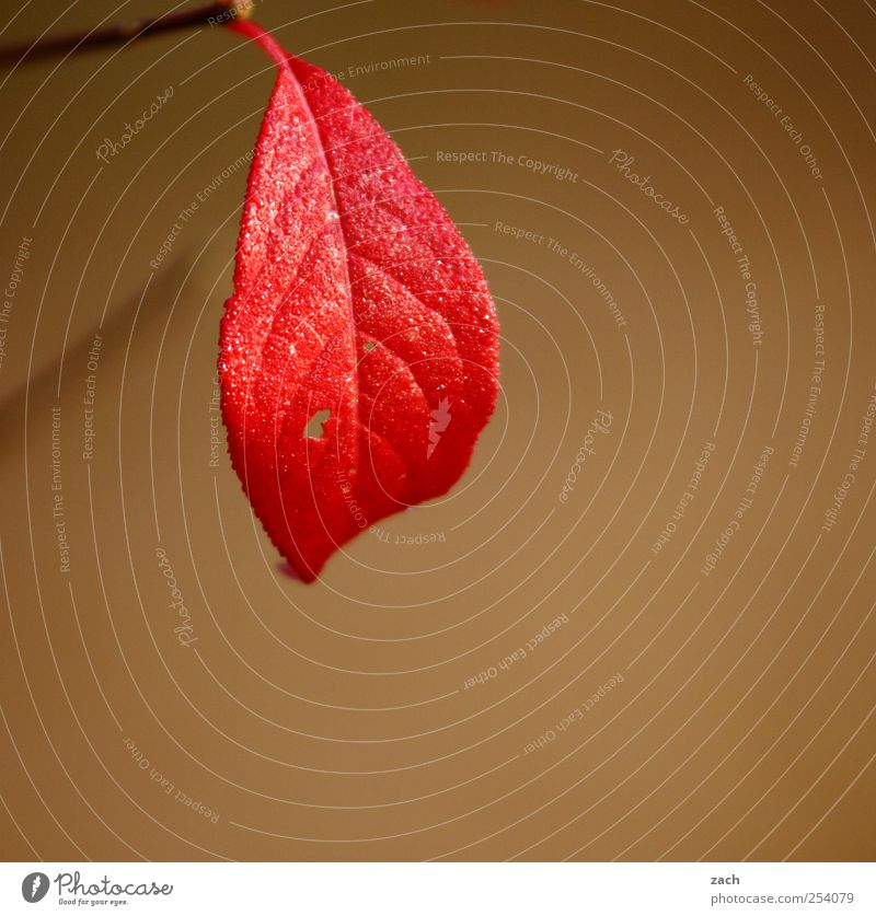 The summer was very big Environment Nature Plant Autumn Fog Tree Leaf Twig Branch Wood Hang Brown Gold Seasons Red Colour photo Subdued colour Exterior shot